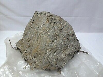 "Real Natural Hornet Wasp Hive Nest on Twig 12""w x 9""t Bald Face Paper Taxidermy"