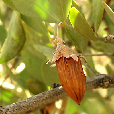 5 GRAINES DE JOJOBA (Simmondsia chinensis) Coffeeberry SEEDS SAMEN SEMILLAS