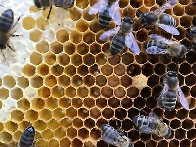 Swarm Lure for Honey Bees  -3 Off