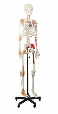 Wellden- Life Size Human Anatomical Skeleton On Model Stand