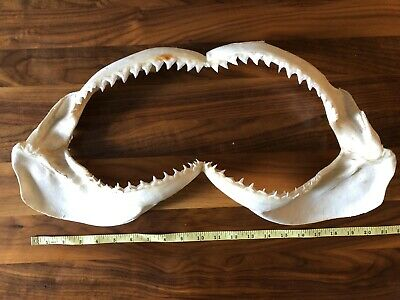 "15"" Shark Jaws Bullshark"