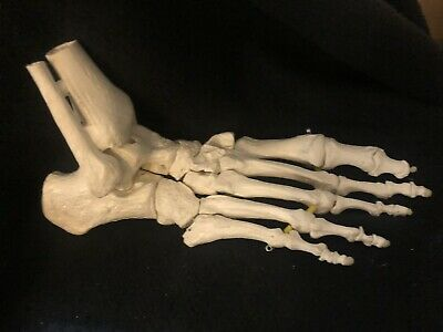 ESP Life Size Foot and Ankle Attachments Anatomical Model