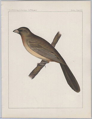 1855 Chromolithograph - Abert's Finch from the Pacific Railroad Survey