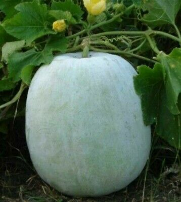 Winter melon 5 seeds