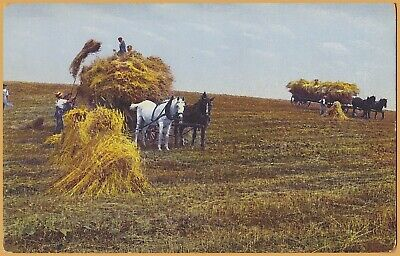 Harvesting Wheat in the west - Horse Drawn Harvesting