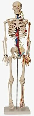 skeleton - anatomical model with nerves and blood vessels. 85cm. New condition.