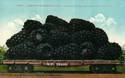 Exaggeration A Carload Of Blackberries, Southern Pacific Rail, ca 1910 Postcard