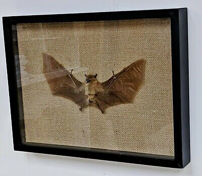 E11 Taxidermy TINY Bat Skull with red rose small Display Oddity Curiosities odd