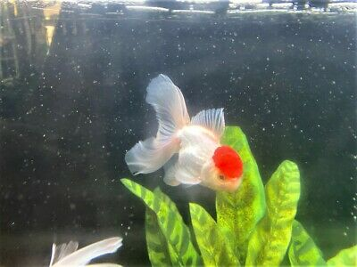 """Imported Thailand Show Quality 5"""",5 Month Male Red Cap Peacock Tail White Oranda"""