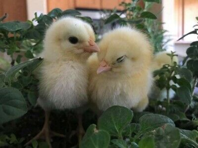 French 16  American Bresse Chicken Hatching Eggs ~  West Coast Source ~