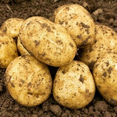 SEED POTATOES WILJA SECOND EARLY NEW STOCK ARRIVED 10 PREMIUM TUBERS.