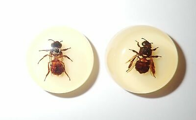 Insect Cabochon Honey Bee Round 25 mm on Amber White Bottom 2 pcs Lot