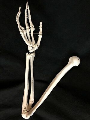 3B Scientific Spare Numbered Arm for A11 Skeleton Anatomical Model Anatomy