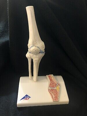 3B Scientific A85/1 Mini Human Knee Joint Model Cross Section Anatomical Model