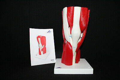 3B Scientific A882 Human Knee Joint Model with Removable Muscles, 12 part