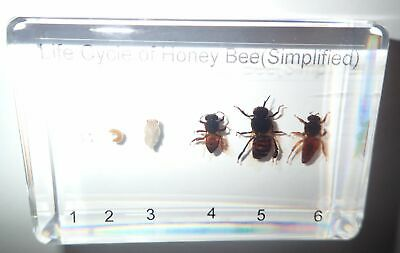 Honey Bee Life Cycle Set Simplified Kit Real Insect Specimen Teaching Aid