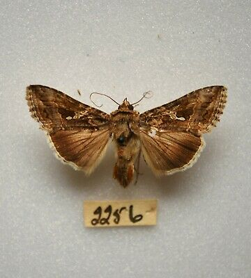 Urania ripheus sunset moth mounted in a glass dome
