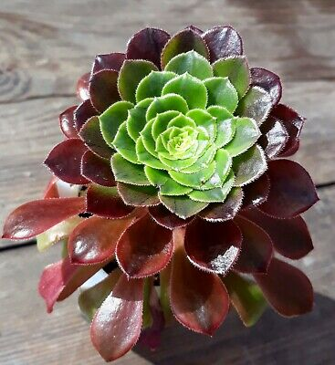 9cm Pot New Hybrid Succulent forms a pyramid shape Aeonium /'Nights Watch/'