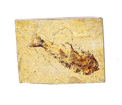 /FOSSIL Knightia Fish Green River Formation 50 MILLION YEARS OLD F8