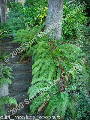 Western Sword Fern spores w/ FREE how to grow booklet!