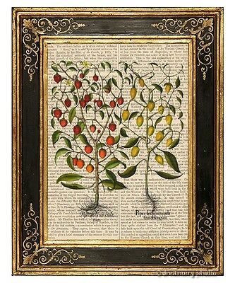 Hot Chili Pepper Plant #1 Art Print on Antique Book Page Vintage Illust Chilli