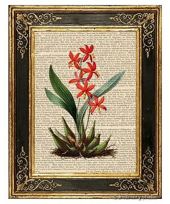 Epidendrum Orchid Flower Art Print on Antique Book Page Vintage Illust Garden