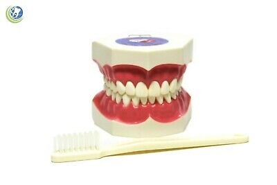 NEW Dental Care Hygiene Teaching Study Demo for Tooth Brushing Model - XL size