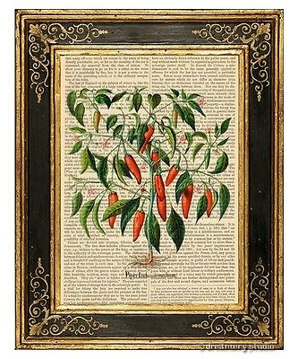 Hot Chili Pepper Plant #2 Art Print on Antique Book Page Vintage Illust Chilli