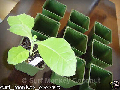 500 Heirloom Tobacco Seeds Starter Kit + Plastic Pots, Plant Labels & Trays, Raw