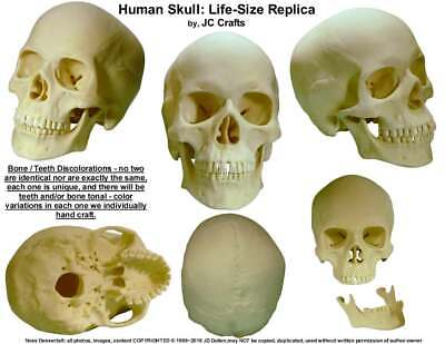 Human Skull Replica: 1:1 Life Size Human Skull, by Nose Desserts®: From USA