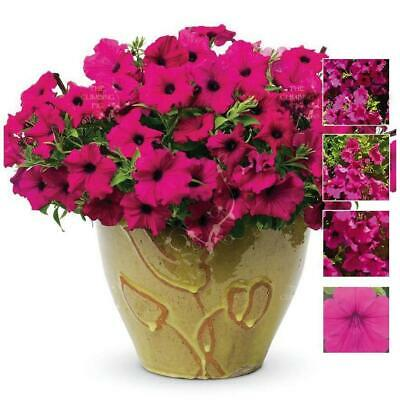"Petunia ""Purple Rose™"" seeds x 300. Very large bright fragrant magenta flowers."