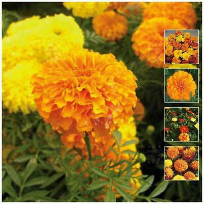 "Marigold ""Dwarf French"" seeds x50. Mix of yellow, orange, red. FREE SHIPPING!"