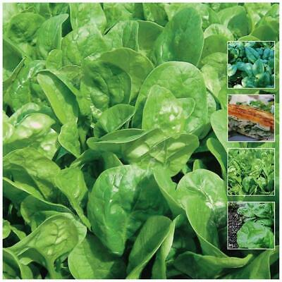 """Spinach """"English"""" seeds 