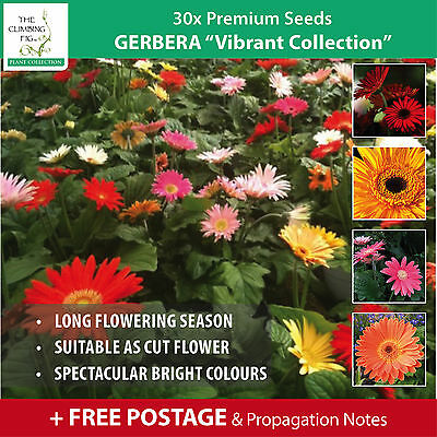 "Gerbera ""Vibrant Collection™"" Premium Seeds x 30 with FREE Postage!"