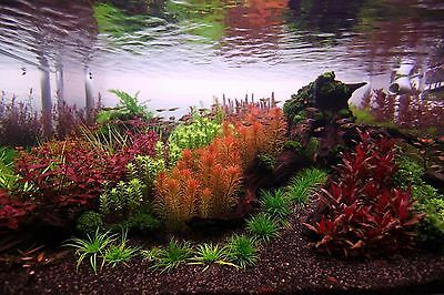 25 RED & PINK species BUNCHED & WEIGHTED live tropical aquarium plants
