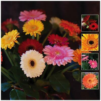 "Gerbera ""Vibrant Collection™"" Premium Seeds x 100 with FREE Postage! BULK PACK!"