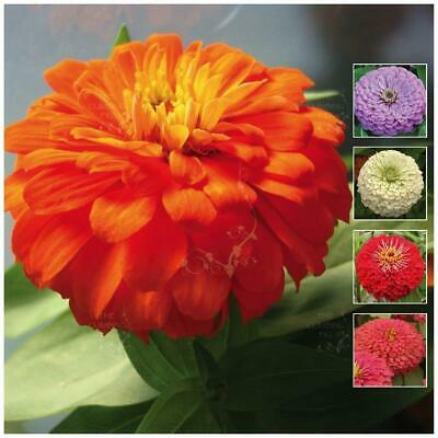 "Zinnia ""CA Ultra-Giants™"" seeds. HUGE bright cut flowers, mix of colours."
