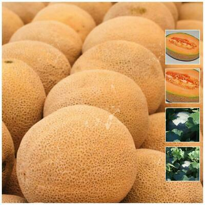 "Rockmelon ""Kearos Special T41™"" seeds. Very large, sweet & fragrant fruit."