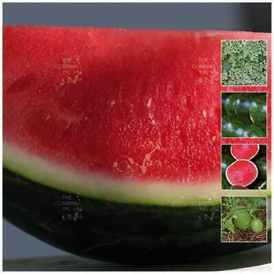 "Watermelon ""Sugarbaby Lowseed™"" Seeds - Early Fruiting & Compact Vine FREE Post!"