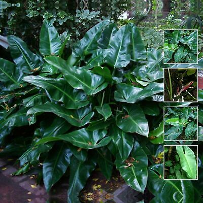"Philodendron ""Tuxla"" seeds. Rare climbing hybrid philodendron variety. Glossy."