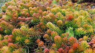 Sedum 'angelina'  Ground Cover Plants Winter Hardy 3- Live Plants+A Free Plant