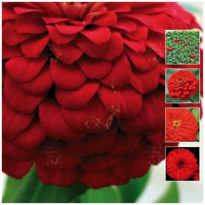 "Zinnia ""Double Scarlet™"" seeds. HUGE double red flowers. Cut flower variety."