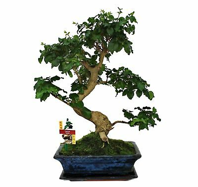 bonsai chinesischer liguster ligustrum sinensis indoor baum pflegeleicht top eur 139 00. Black Bedroom Furniture Sets. Home Design Ideas