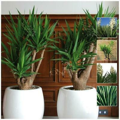 "YUCCA ""Aloifolia TF™"" Seeds. Stylish landscaping plant, suitable for pots."