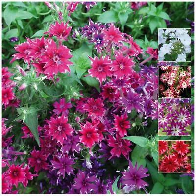 "PHLOX ""Twinkle Tina"" Seeds. Bright and fragrant exotic flowers. FREE Postage!!!"