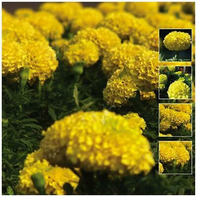 """MARIGOLD """"Compact Lemon™"""" Seeds. Large double yellow flowers. Compact plant."""
