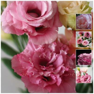 "LISIANTHUS ""Sirene Pink™"" pelletised seeds. Double flowers, cutting variety."