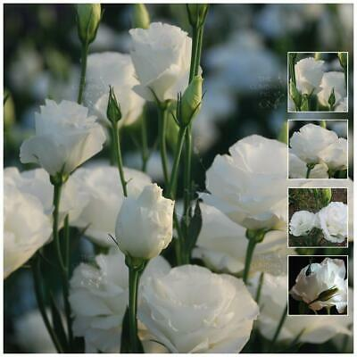 "LISIANTHUS ""Bridal White™"" pelletised seeds. Double flowers, cutting variety."