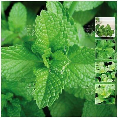 "MINT ""Peppermint LXR™"". Seeds of premium medicinal herb variety. Free Postage!!!"