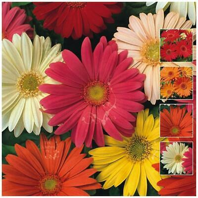Gerbera Jamesonii Mix Seeds. Mix of bright colours. Free propagation notes.